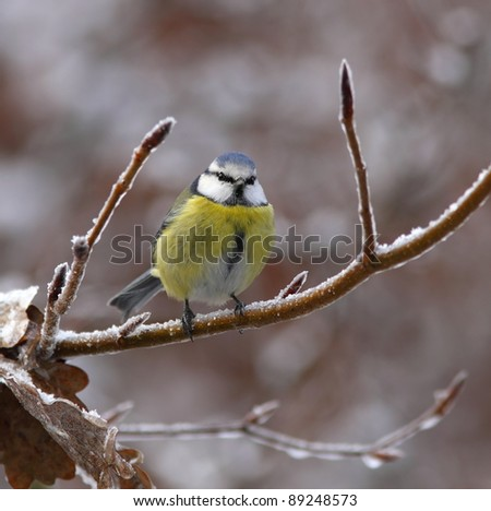 Blue tit on a icy branch, with brown leafs - stock photo