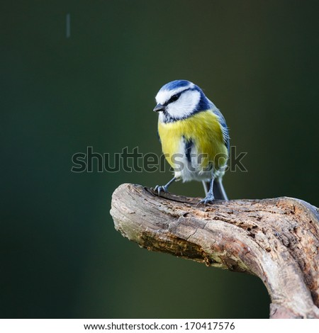 blue tit on a peace of wood - stock photo