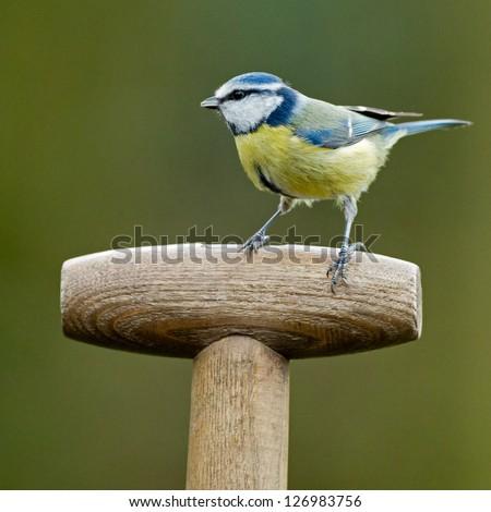 Blue tit on a shovel - stock photo