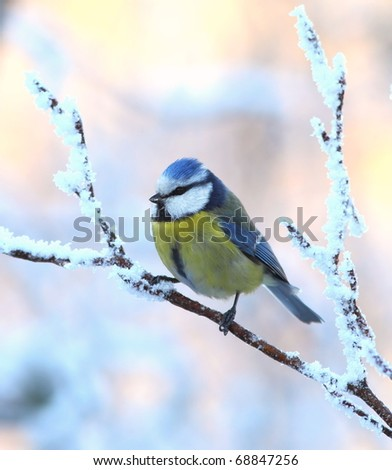 Blue tit on a snowy, icy branch 2. - stock photo