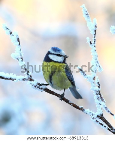 Blue tit on a snowy, icy branch 3. - stock photo
