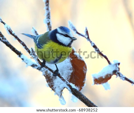 Blue tit on a snowy, icy branch 4. - stock photo