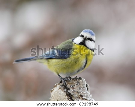 Blue tit on a snowy, icy trunk - stock photo