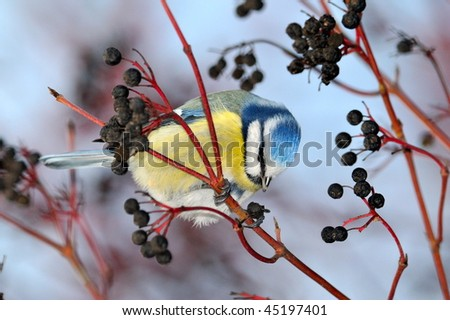 blue tit on branch in winter (parus caeruleus) - stock photo