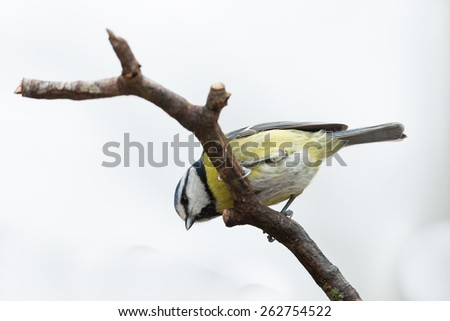 blue tit on twig isolated on white background looking down