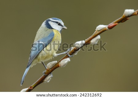 Blue tit on willow catkins flowers - stock photo