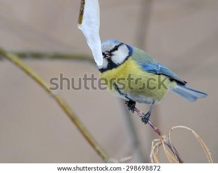 Blue Tit (Parus caeruleus) eats icecream of maple sap icicle - stock photo