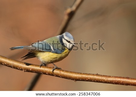 Blue tit (Parus caeruleus) on a twig. - stock photo