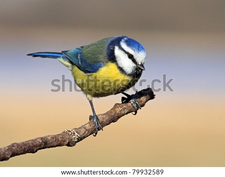 Blue tit perched on a stick - stock photo