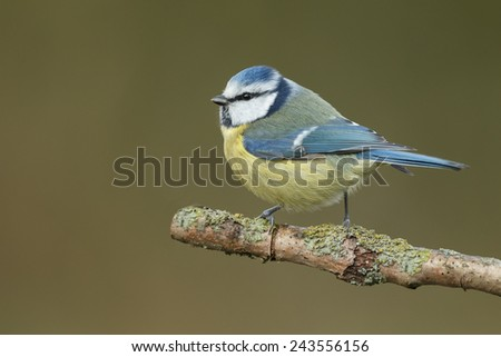 Blue tit perched on a twig - stock photo