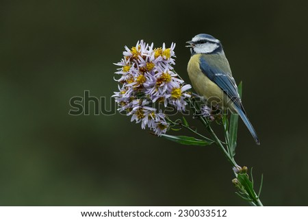 Blue tit perched on purple dome - stock photo