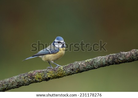 Blue tit perched on twig - stock photo