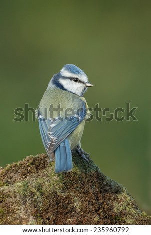 Blue tit with a green background - stock photo