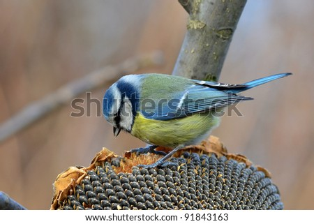 blue tit with sunflower - stock photo