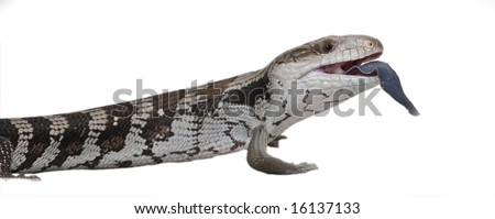 Blue Tongue lizard on white background, with tongue out. Easy to isolate. - stock photo