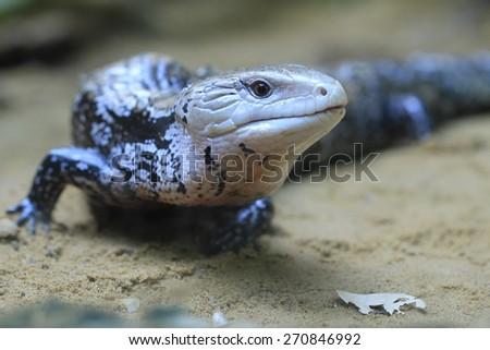 Blue-tongued skink - stock photo