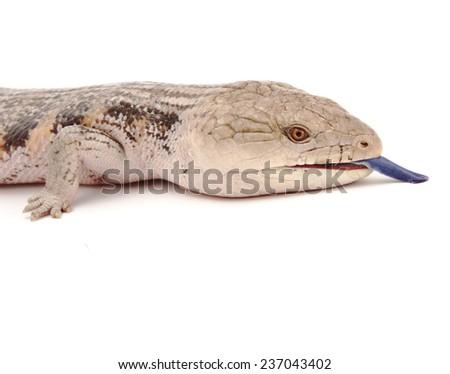 Blue tongued skink close up.  - stock photo