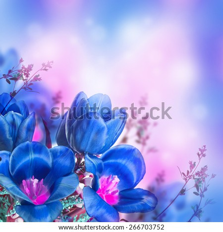 Blue tulips with mimosa , spring background - stock photo
