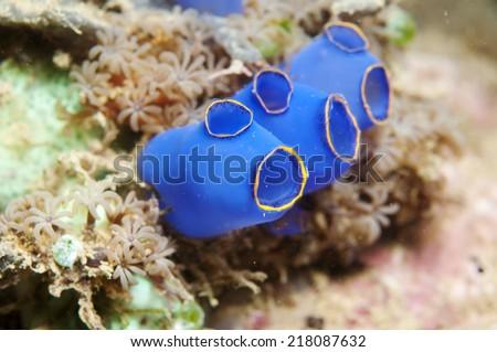 Blue Tunicates_ Ascidiacea _ Urochordata, in Anilao, Philippine. - stock photo