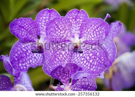blue vanda orchid flower - stock photo