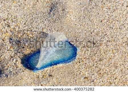 Blue Velella velella pleuston (or Purple Sail) stranded on ocean beach - stock photo