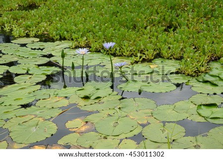 blue water lilies on a pond