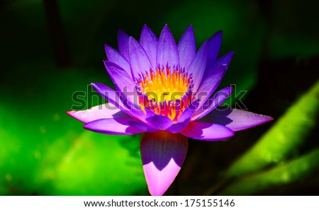 Blue Water Lily in the Pond - stock photo