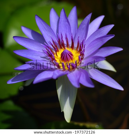 Blue waterlilly in pond with out focus green leaves background - stock photo
