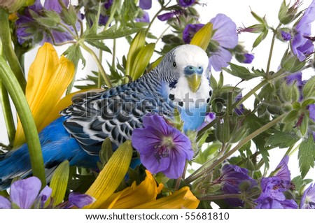 Blue wavy parrot in colours on a white background - stock photo