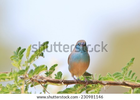 Blue Waxbill - African Wild Bird Background - Beautiful Colors in Nature