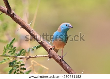 Blue Waxbill - African Wild Bird Background - Beautiful Colors in Nature - stock photo