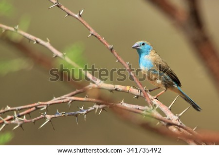 Blue Waxbill - African Wild Bird Background - Colorful Nature and Beautiful Bliss - stock photo