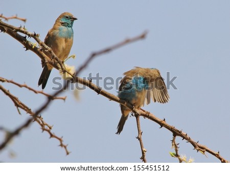 Blue Waxbill - Wild Bird Background from Africa - Grooming of beautiful feathers on a thorn bush