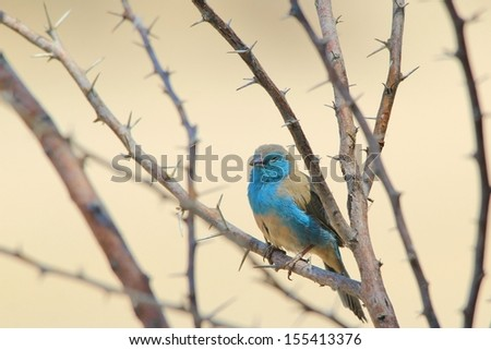 Blue Waxbill - Wild Bird Background from Africa - Sleeping Beauty of the Thorn bush branch - stock photo