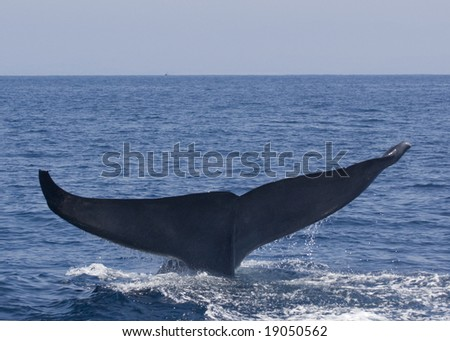 Blue Whale - stock photo