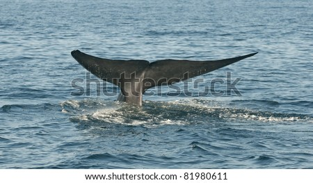 Blue Whale off the coast of Dana Point, California
