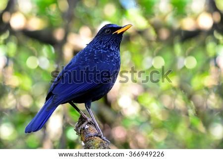 Blue whistling thrush (Myophonus caeruleus) the dark blue bird with yellow bills sitting on the tree with nice mess up back light - stock photo