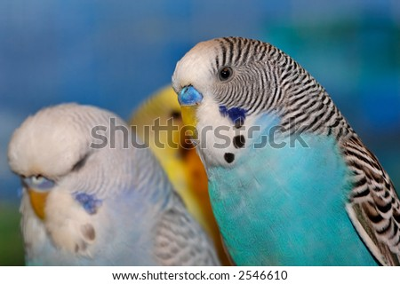 Blue white and black budgie on a coloured background - stock photo