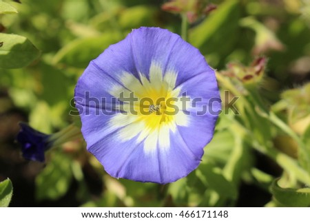 Blue white yellow dwarf morning glory stock photo edit now blue white and yellow dwarf morning glory flower or bush morning glory mightylinksfo