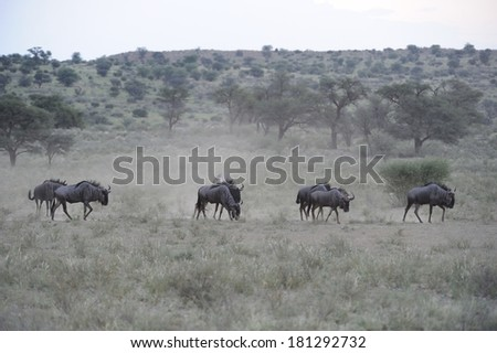 Blue Wildebeest (Connochaetes taurinus) aka brindled gnu cross a dusty plain at Grootkolk,on their way to water in the Kalahari desert, Kgalagadi transfrontier park, northern cape, South Africa. - stock photo