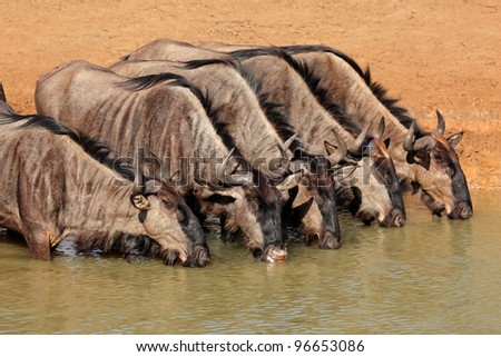 Blue wildebeest (Connochaetes taurinus) drinking water, Mkuze game reserve, South Africa - stock photo