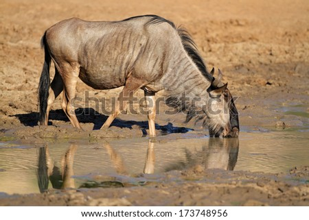 Blue wildebeest (Connochaetes taurinus), drinking water, Pilanesberg National Park, South Africa - stock photo
