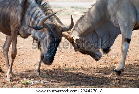 Blue wildebeest fighting in national park. Connochaetes taurinus. - stock photo