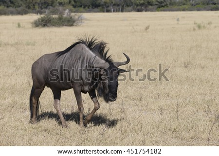 Blue Wildebeest in Moremi National Park Botswana