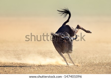 Blue wildebeest jumping playfully around - Kalahari desert - South Africa - stock photo