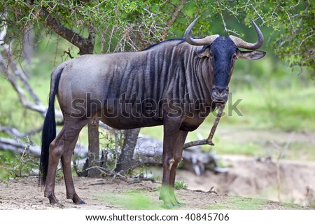 Blue wildebeest photographed in the African bush - stock photo