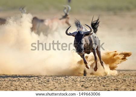 Blue wildebeest running on dusty plains (  Taurinus; connochaetes ) - Kalahari desert - South Africa - stock photo