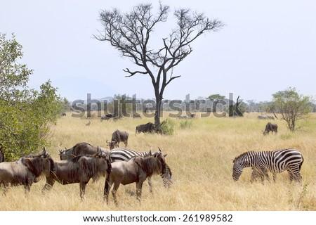 Blue wildebeests, Connochaetes taurinus, and plain zebras (Equus quagga) grazing in the savannah in Serengeti National Park, Tanzania - stock photo