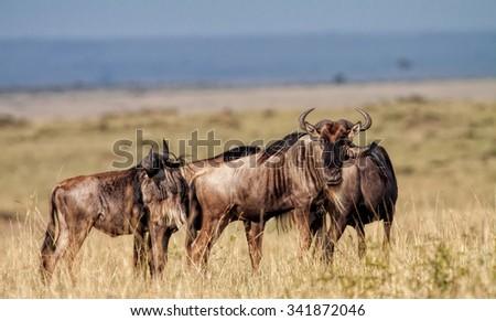 Blue Wildebeests in the Maasai Mara National Park in Kenya, Africa - stock photo