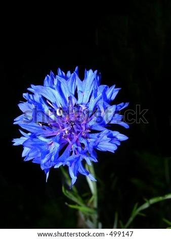 Blue Wildflower - stock photo